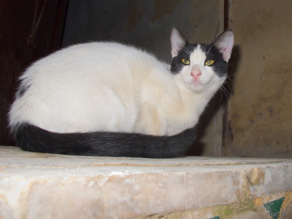 white cat with black patch