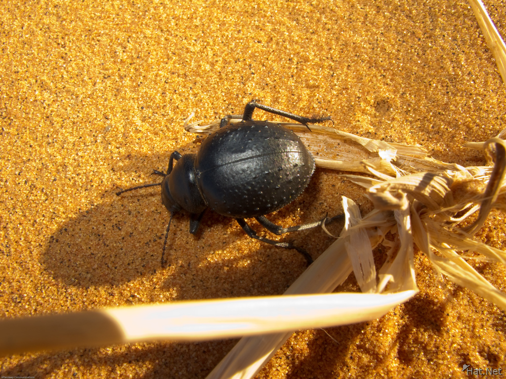 dung bettle struggling