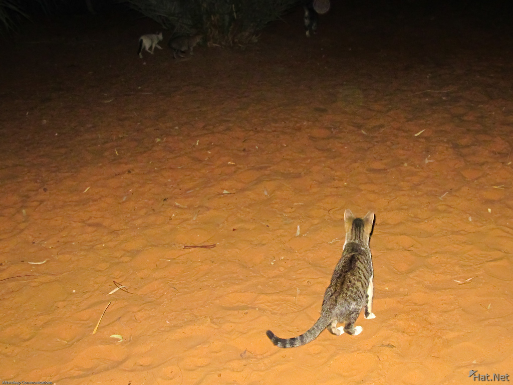cat of sahara