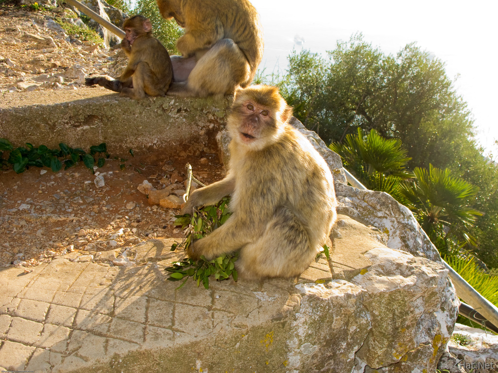 barbary macaque stairs