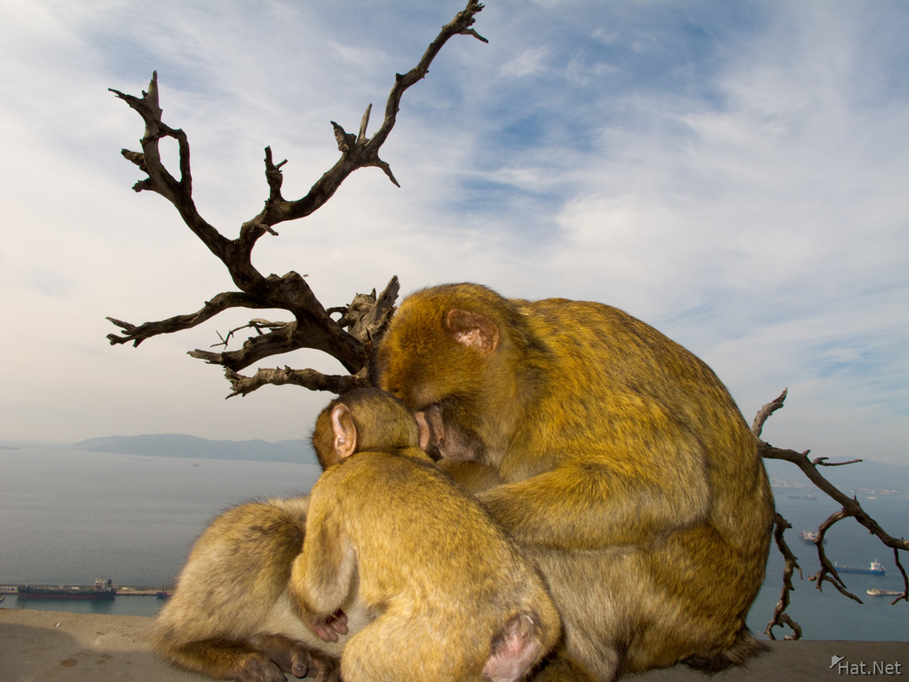 barbary macaques family