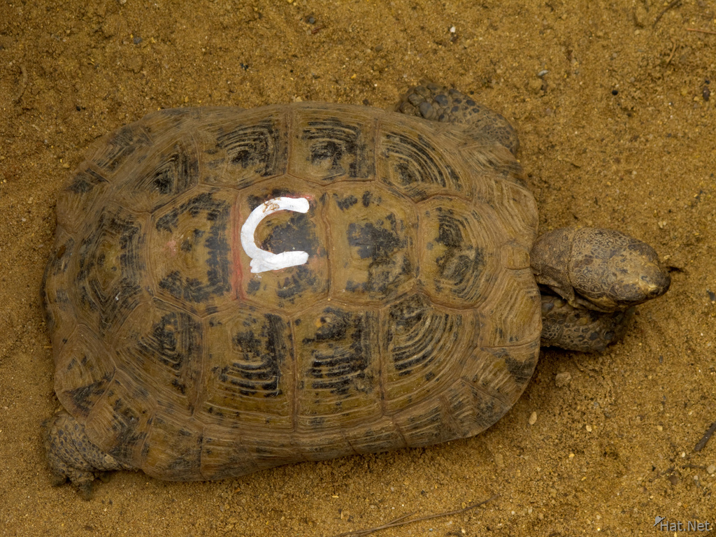 spur-thighed tortoise micro